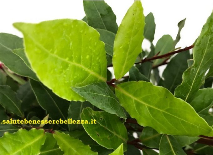 Alloro officinale (Laurus nobilis)