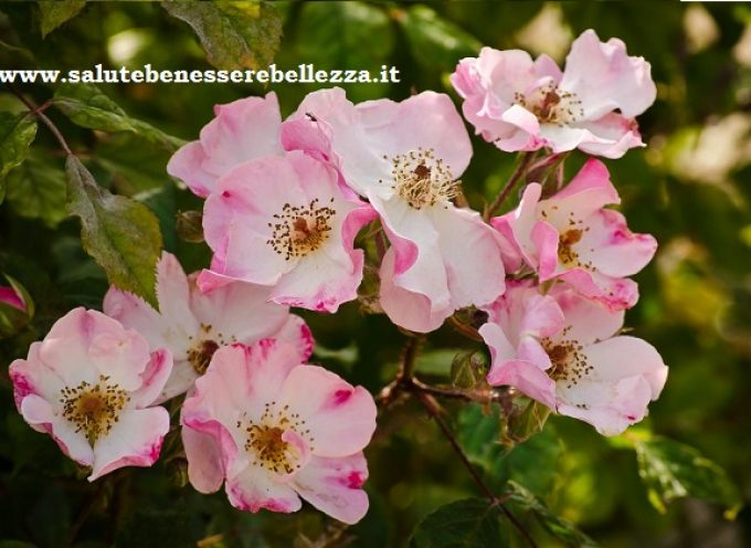 Rosa canina officinale