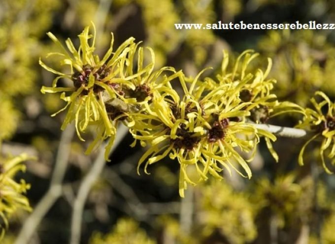Amamelide officinale (Hamamelis virginiana)