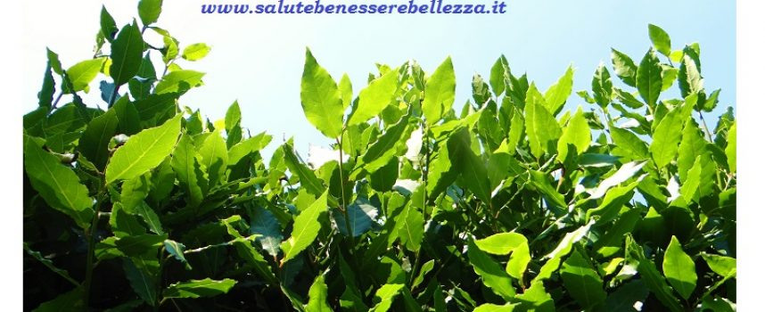 Alloro officinalis (Laurus nobilis)