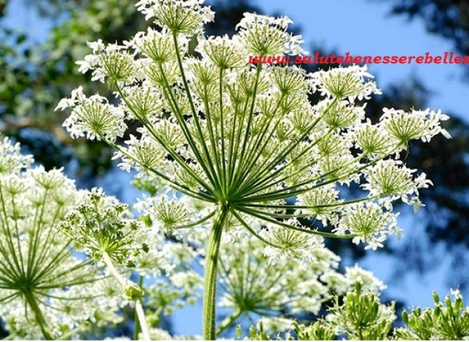 Angelica officinale (Archangelica)
