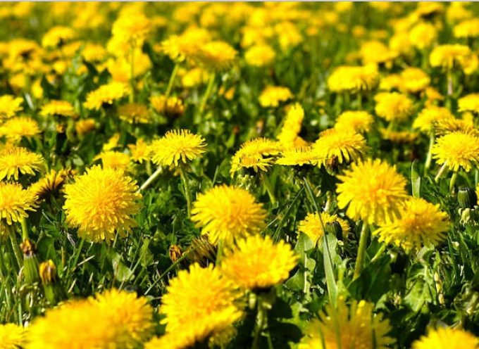 Tarassaco (Taraxacum officinalis)