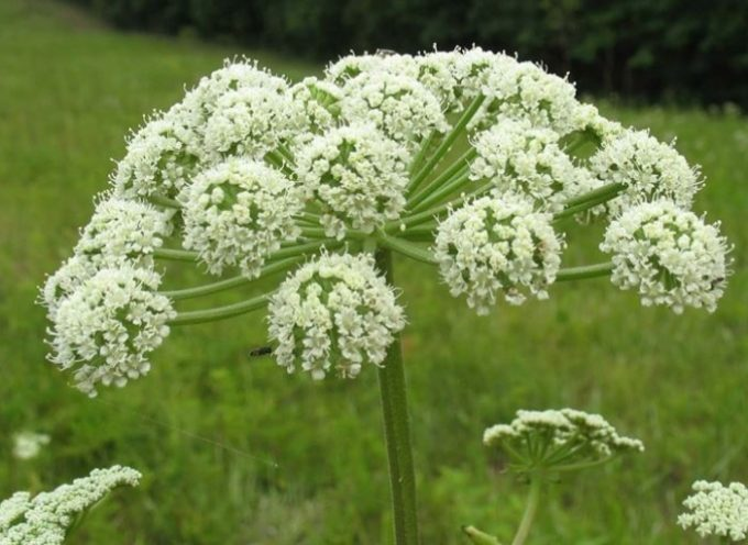 Angelica (Angelica silvestris)